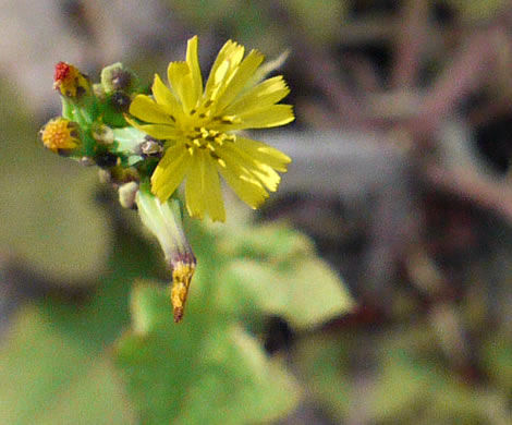 image of Youngia japonica, Asiatic Hawksbeard, Youngia, Japanese Crepis, Oriental False Hawksbeard