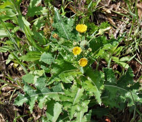 image of Sonchus asper, Prickly Sowthistle, Spiny-leaf Sowthistle