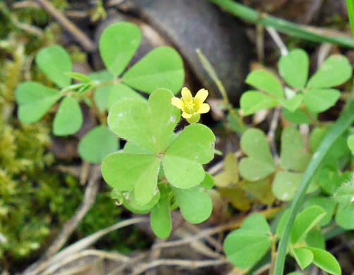 flower of Oxalis corniculata, Creeping Lady's-sorrel