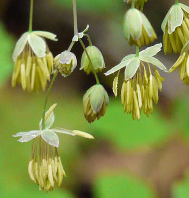 sepals or bracts of Thalictrum dioicum, Early Meadow-rue