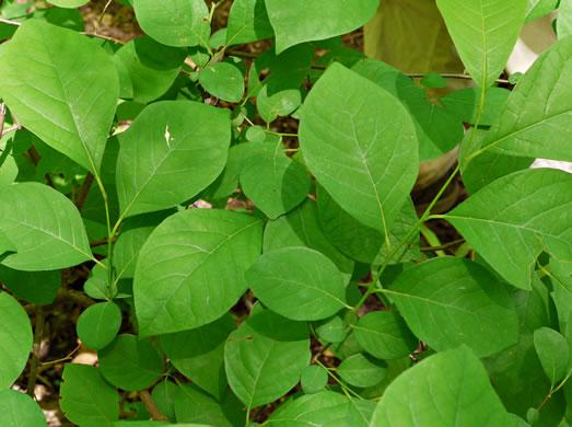 Lindera benzoin, Spicebush - Plant Database - University of ...