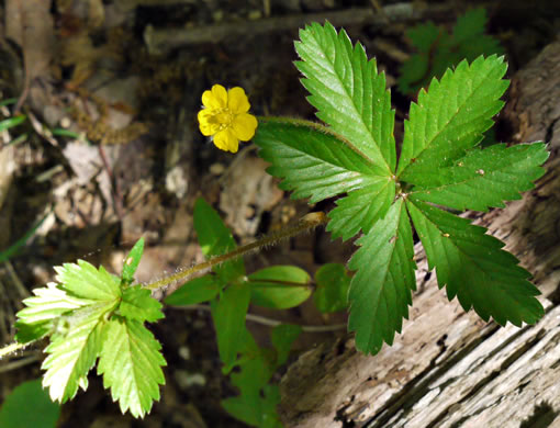 palmate: Potentilla simplex, Old Field Cinquefoil, Old-field Five-fingers, Common Cinquefoil