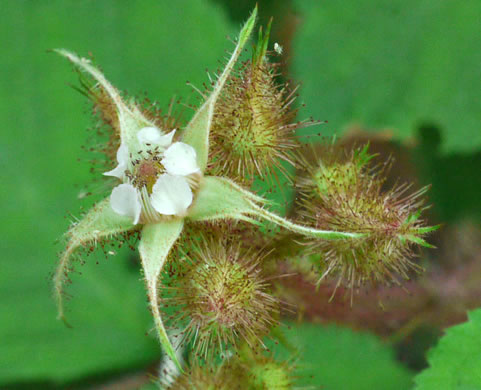 flower of Rubus phoenicolasius, Wineberry