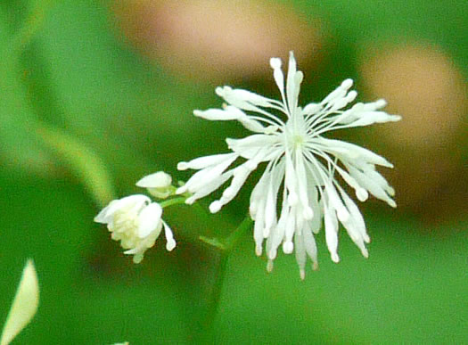flower of Thalictrum clavatum, Mountain Meadow-rue, Lady-rue