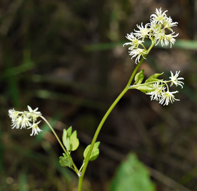 image of Thalictrum revolutum, Skunk Meadow-rue, Waxy Meadow-rue