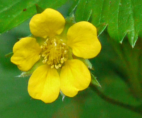 Namethatplant flowers of cinquefoil and strawberry species potentilla simplex potentilla simplex potentilla simplex mightylinksfo Image collections