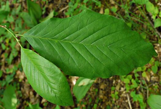 Namethatplantnet Leaves Of Magnolia Species