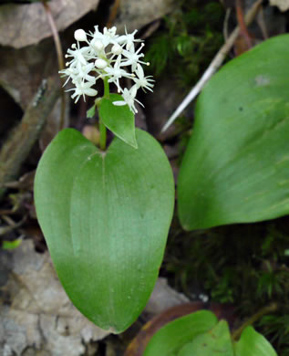 flower of Maianthemum canadense, Canada Mayflower, False Lily-of-the-valley, Wild Lily-of-the-valley