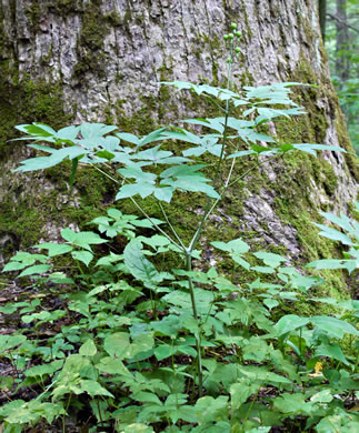 image of Caulophyllum thalictroides, Common Blue Cohosh, Papooseroot, Green Vivian