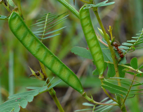 image of Chamaecrista fasciculata var. fasciculata, Common Partridge Pea, Showy Partridge Pea