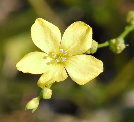 picture of Linum striatum, image of Linum striatum