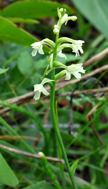flower of Platanthera clavellata, Small Green Wood Orchid, Club-spur Orchid, Woodland Orchid, Streamhead Orchid