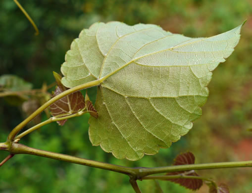 Vitis baileyana, Possum Grape