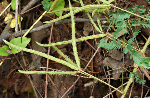 image of Mimosa microphylla, Littleleaf Sensitive-briar, Eastern Sensitive-briar