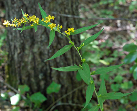 glaucous: Solidago caesia var. caesia, Bluestem Goldenrod, Wreath Goldenrod, Axillary Goldenrod, Bridal-wreath Goldenrod