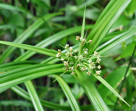 sessile: Scirpus polyphyllus, Leafy Bulrush