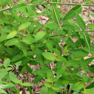 image of Pycnanthemum flexuosum, Savanna Mountain-mint