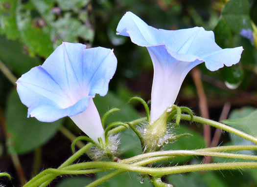 flower of Ipomoea hederacea, Ivyleaf Morning Glory
