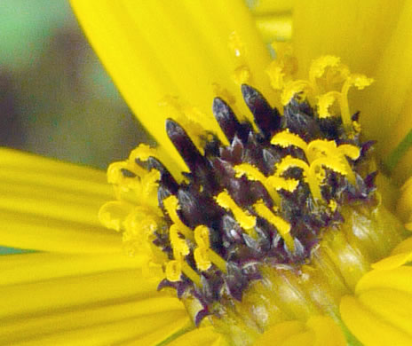 image of Helianthus atrorubens, Purple-disc Sunflower, Hairy Wood Sunflower, Appalachian Sunflower