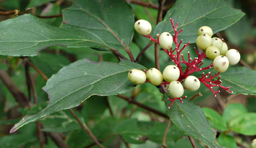image of Cornus stricta, Southern Swamp Dogwood