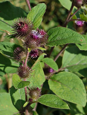 dentate: Arctium minus, Common Burdock