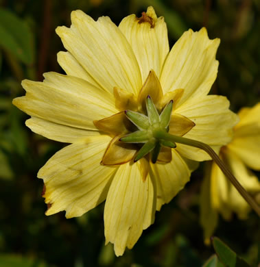 Coreopsis auriculata, Eared Coreopsis, Lobed Coreopsis, Eared Tickseed