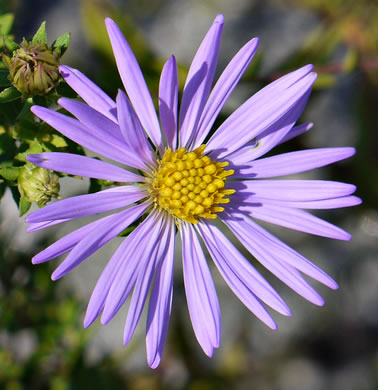 flower of Symphyotrichum oblongifolium, Eastern Aromatic Aster, Shale-barren Aster