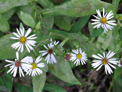 flower of Symphyotrichum prenanthoides, Crooked-stem Aster, Zigzag Aster