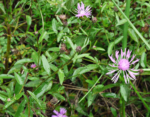 image of Centaurea nigrescens, Tyrol Knapweed, Short-fringed Knapweed