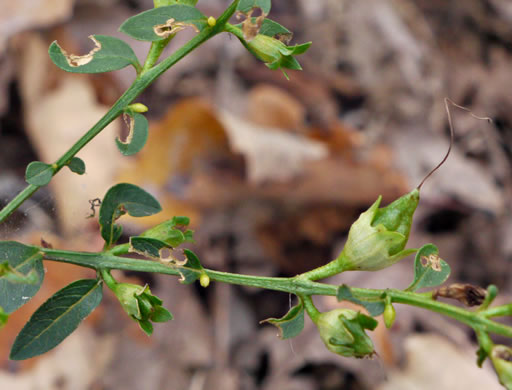 image of Aureolaria laevigata, Appalachian Oak-leach, Smooth False-foxglove