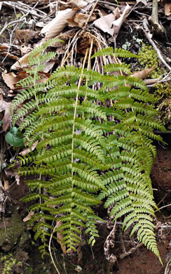 image of Dryopteris marginalis, Marginal Wood-fern, Marginal Shield Fern