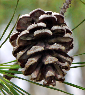 fruit of Pinus echinata, Shortleaf Pine, Yellow Pine, Rosemary Pine