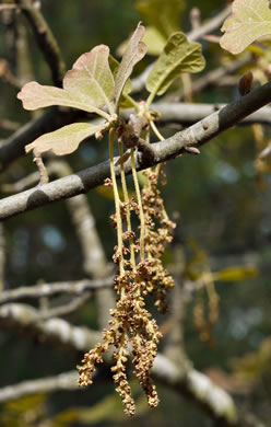 flower of Quercus marilandica var. marilandica, Blackjack Oak