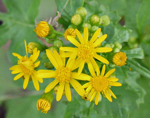 flower of Packera glabella, Butterweed, Smooth Ragwort, Yellowtop