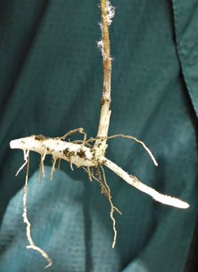 rhizome: Medeola virginiana, Indian Cucumber-root