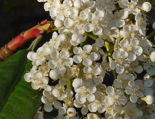 flower of Photinia serratifolia, Photinia serratifolia, -