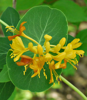 flower of Lonicera flava, Yellow Honeysuckle