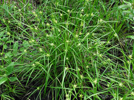 image of Carex intumescens var. intumescens, greater bladder sedge