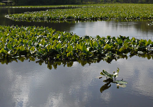 image of Nuphar advena, Broadleaf Pondlily, Cow-lily, Spatterdock, Yellow Pond Lily