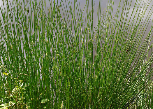 image of Juncus effusus ssp. solutus, Soft Rush, Common Rush