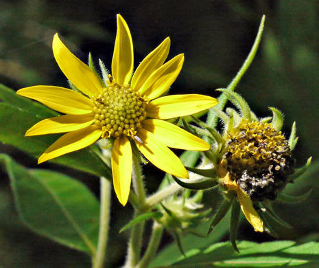 image of Helianthus resinosus, Hairy Sunflower, Resinous Sunflower, Gray Sunflower, Resindot Sunflower