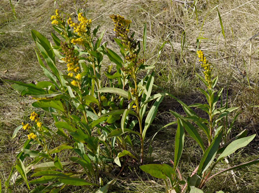image of Solidago sempervirens, Northern Seaside Goldenrod