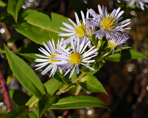 flower of Symphyotrichum puniceum var. puniceum, Purplestem Aster, Swamp Aster