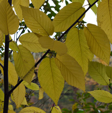 "image of Betula lenta var. lenta, Sweet Birch, Cherry Birch, Black Birch, ""Mahogany"""