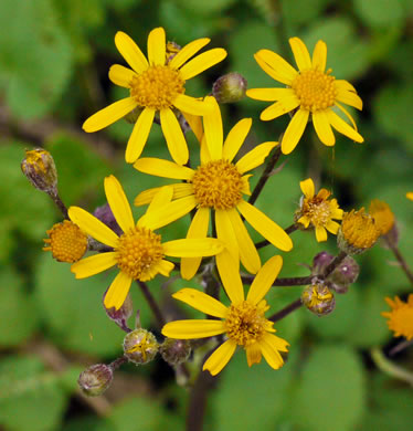 flower of Packera aurea, Golden Ragwort, Heartleaf Ragwort