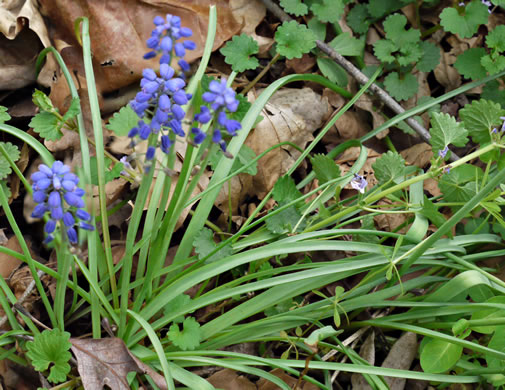 image of Muscari botryoides, Compact Grape-hyacinth
