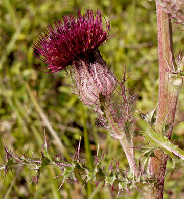 image of Cirsium horridulum var. horridulum, Common Yellow Thistle, Purple Thistle