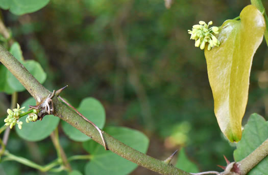 flower of Smilax bona-nox, Catbrier, Saw Greenbrier, Bullbrier, Tramp's Trouble
