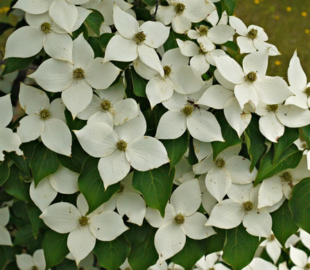 flower of Cornus kousa, Kousa Dogwood