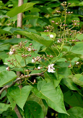 image of Catalpa bignonioides, Southern Catalpa, Fishbait Tree, Cigar Tree